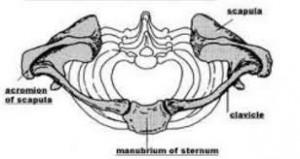 Shoulder girdle from above